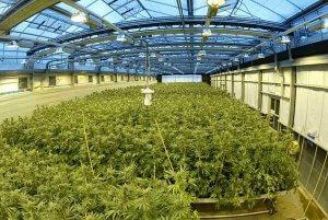 Secret Greenhouse in UK Producing Almost Half the World's Medical Marijuana