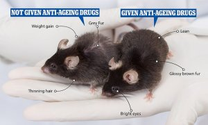 Fascinating picture shows anti-ageing drugs really DO work: One mouse given the medication kept its glossy brown fur – while another untreated mouse started to go grey